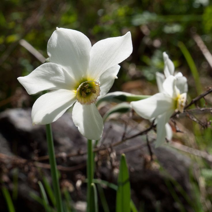 25 best ideas about Narcissus Bulbs on Pinterest