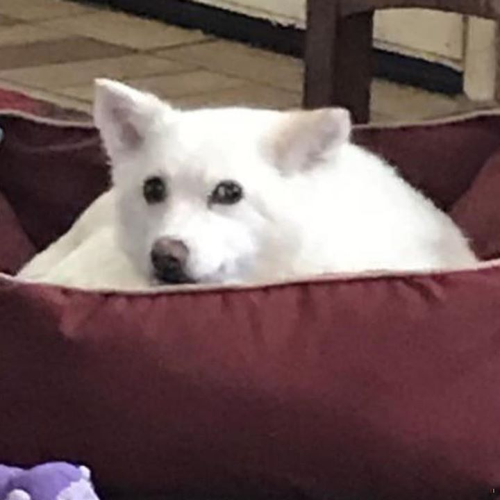 Lost Dog Coleraine Spitz Female Date Lost 11 23 2018 Dog S Name Lovie Breed Of Dog Spitz Gender Female Closest Intersection Losing A Dog Dogs Dog Ages