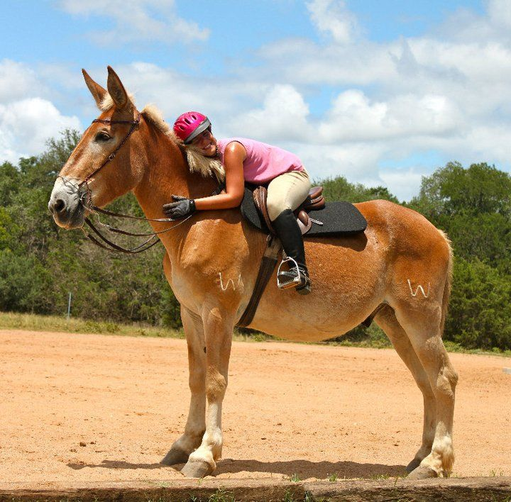 Big Belgian Mules for Sale | Scooby-mule-for-sale-at-hunters-chase-farm.jpg