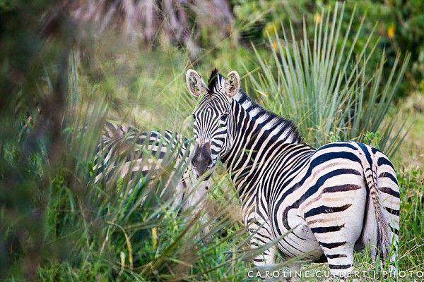 Zebra in the lala palms #KrugerNationalPark