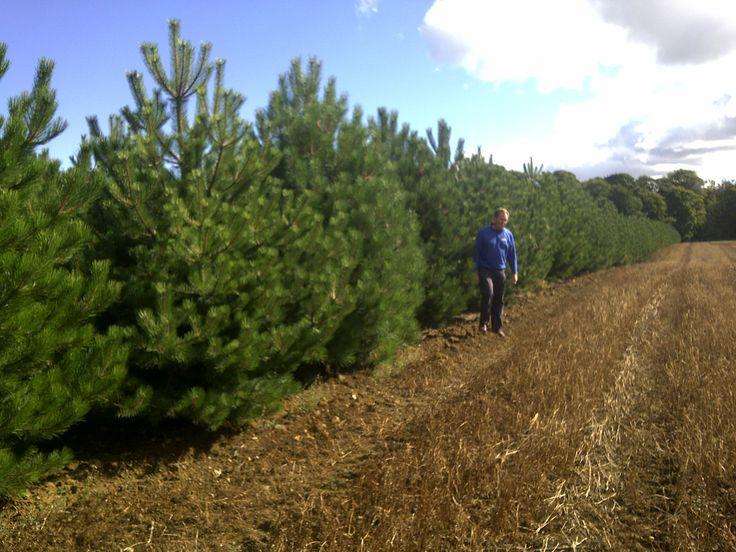 austrian pine oregon green