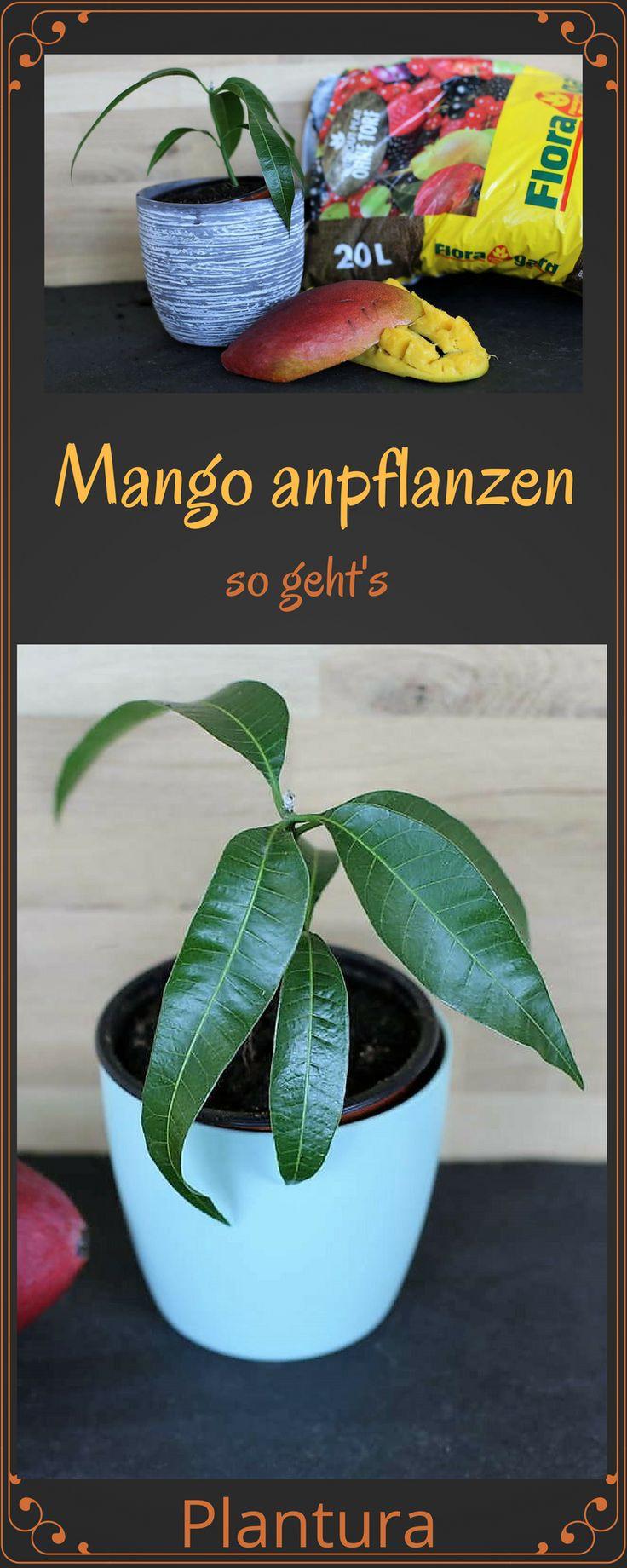 Mangokern einpflanzen und einen kleinen Mangobaum heranziehen - so geht's!