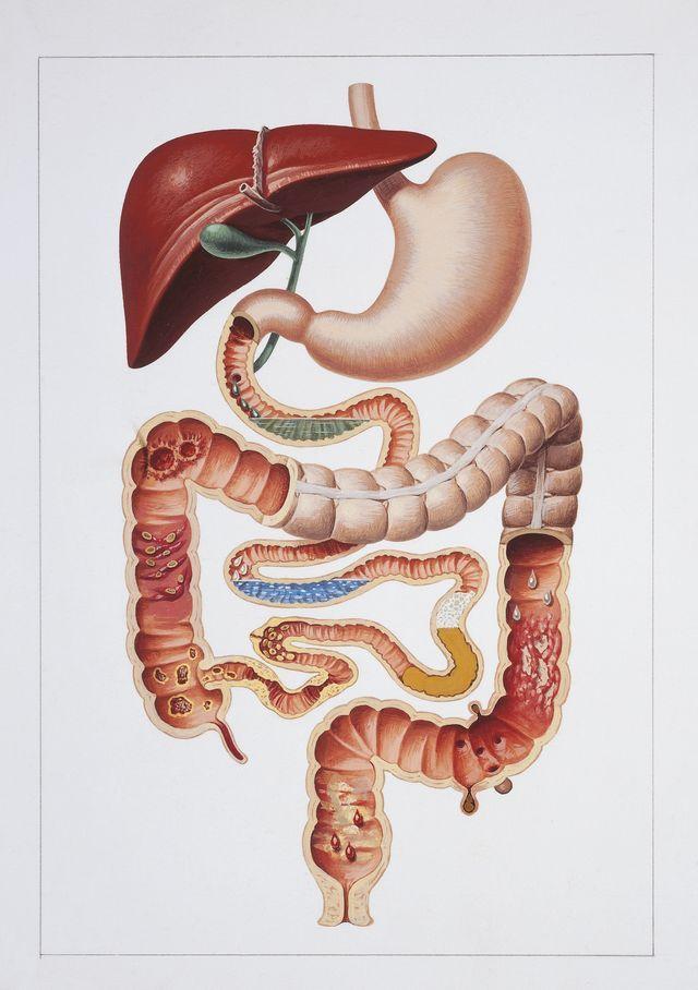 Schéma de l'appareil digestif/ L'être humain est 10% humain & 90% bactérien