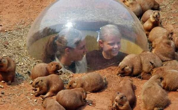 -The downtown Panhandle Pete's Amarillo, Texas - Premier Prairie Dog Town allows visitors to get underground with plastic protection for an up-close view of the prairie dogs.