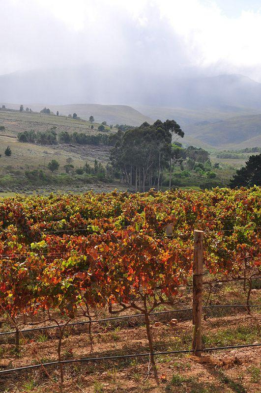 Hemel-en-Aarde Valley, Cape, South Africa FOTO Siv Andersson