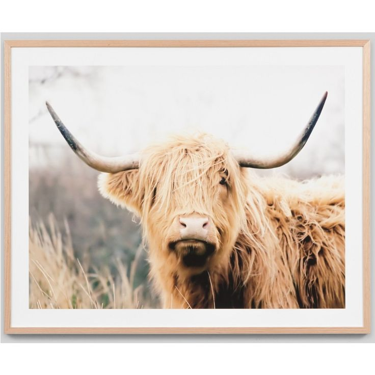 """Nothing beats the hair style of the much loved Scottish Highland Cow (or """"Hairy Coo""""). What a lovely animal to adorn your wall. The Woolly Bovinae is a photographic framed print by an aaonymous Australian Photographer."""