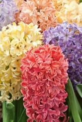 Hyacinth Value Mix