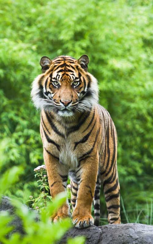 Asian or Bengal tiger facts