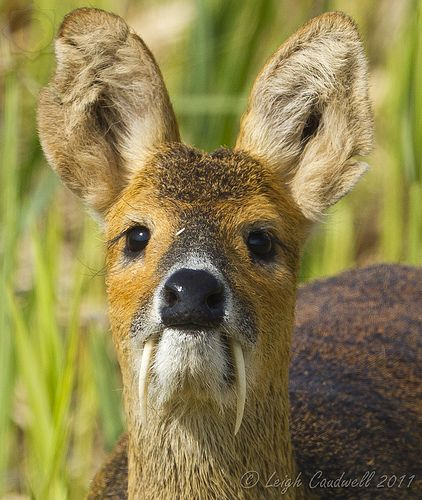 The Water Deer (Hydropotes inermis), also known as the vampire deer, is a small deer superficially more similar to a musk deer than a true deer.