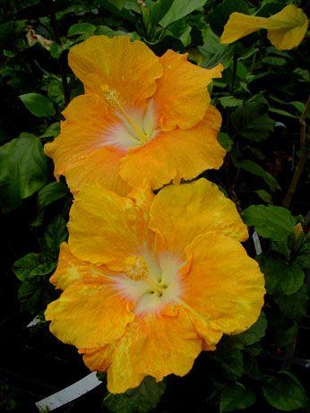 Tahitian Hibiscus 'Golden Eye'