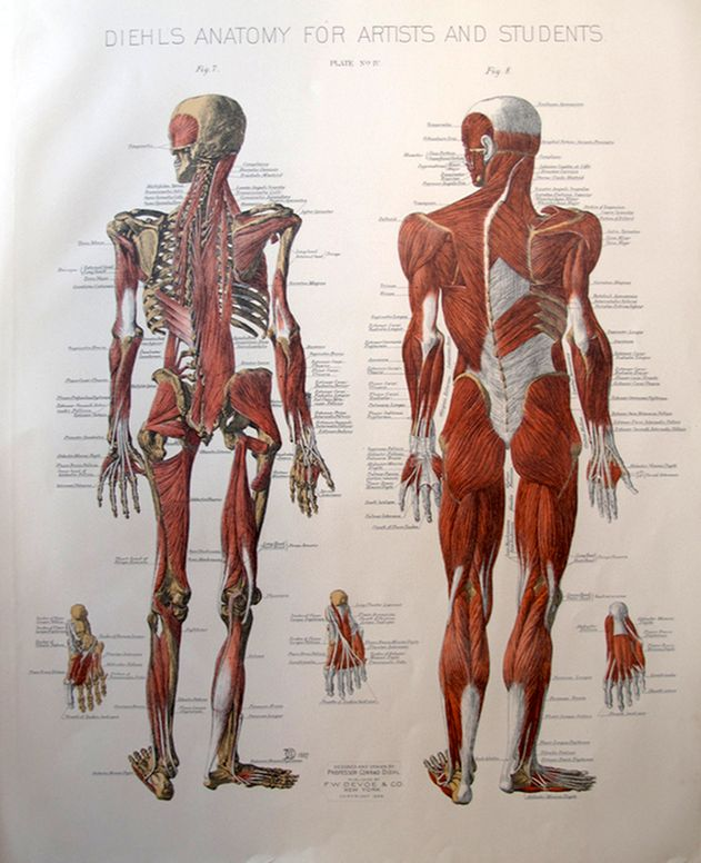 143 best skeletal muscles images on pinterest, Muscles