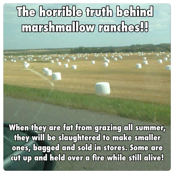 13 May The Marshmallow Harvest Be Rich This Year Inside Jokes Humor Funny Quotes
