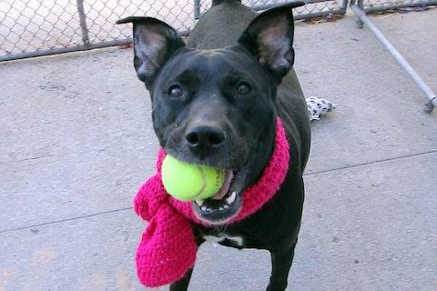 DEE DEE - A1095740 - - Manhattan  Please Share:TO BE DESTROYED 11/10/16 **ON PUBLIC LIST** A volunteer writes: Due to housing restrictions, Miss Dee Dee joins us, alone, uncertain, and confused. Her coat shines with good care, and once she decided we should be friends I was showered with kisses, lots of pretty smiles and sweet tail wags. We're told that Dee Dee is friendly around strangers, isn't experienced with kids or other animals, doesn't guard her th