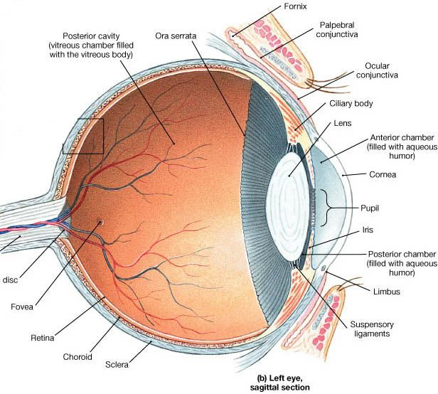 Special senses anatomy of the visual system