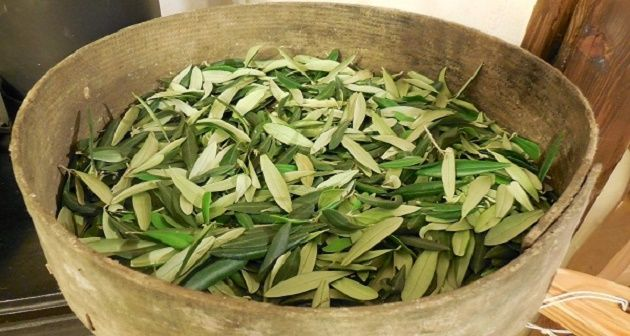 Olive Leaf Tea — A Powerful 3.500 Years Old Remedy
