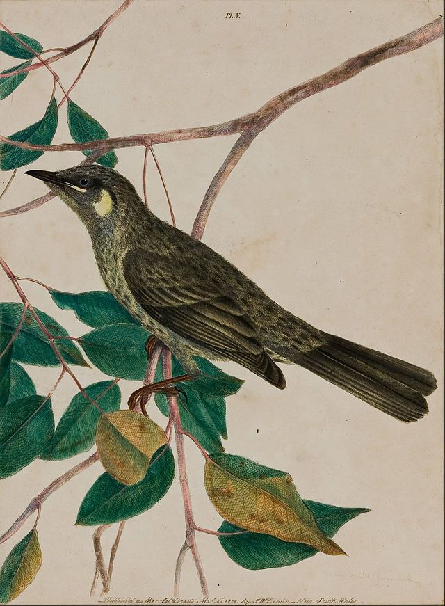 Yellow-eared Honeysucker (1805) from 'Birds of New Holland, with their Natural History' by John W. Lewin (1770 - 1819). Art Gallery of South Australia kQF-w0MGZJy9bg at Google Cultural Institute