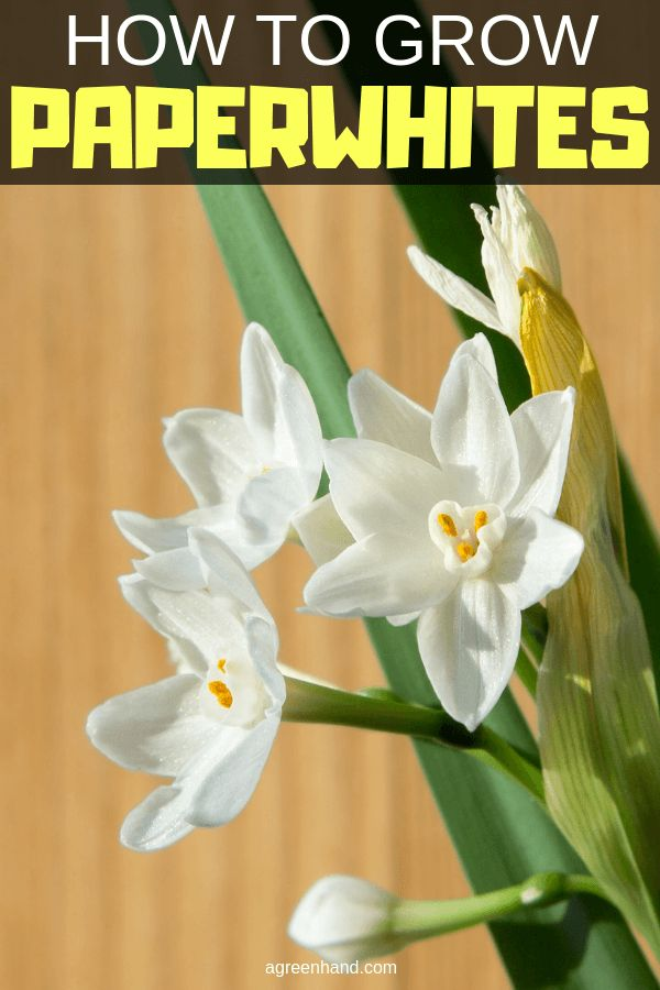 how to grow paperwhite narcissus bulbs