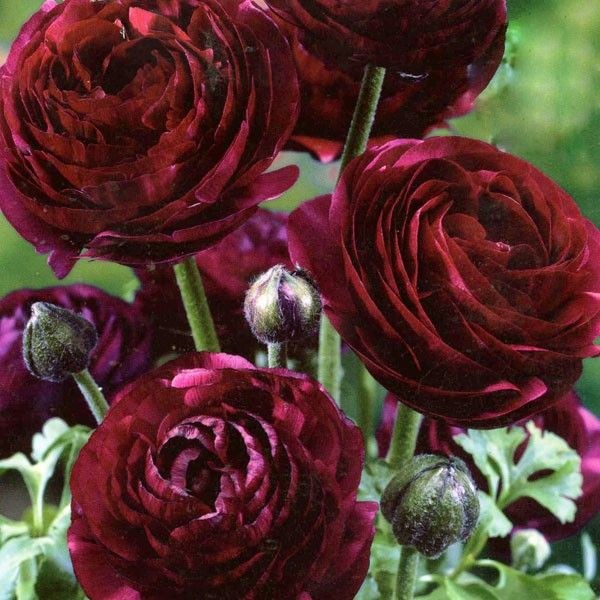 purple ranunculus bulbs - watch out for them as they ...