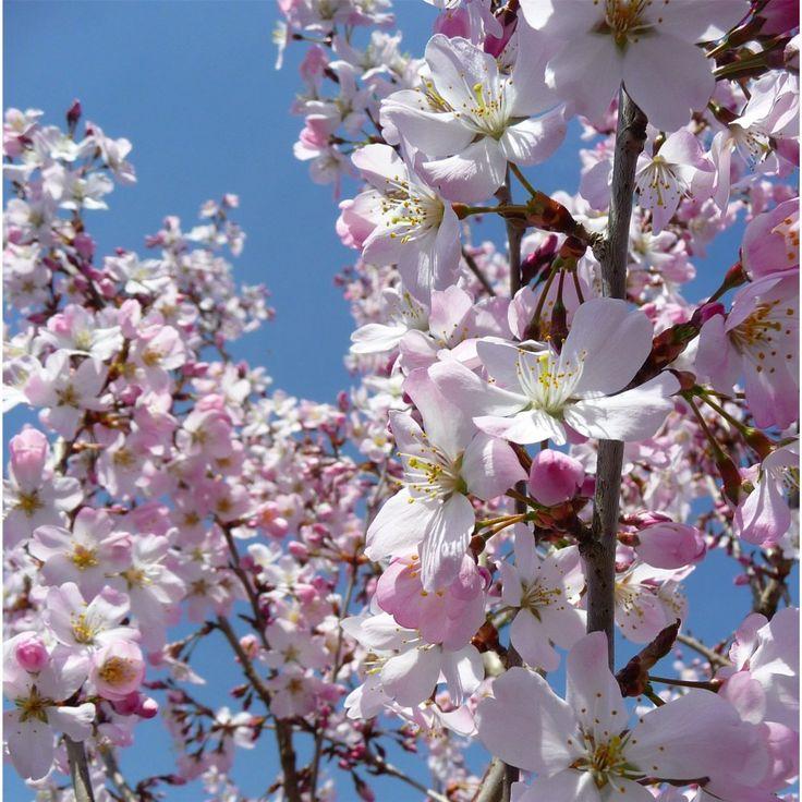 Blossom of Prunus Pandora