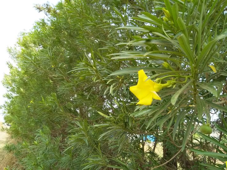 Yellow Oleander. Botanical Name Cascabela Thevetica. Type