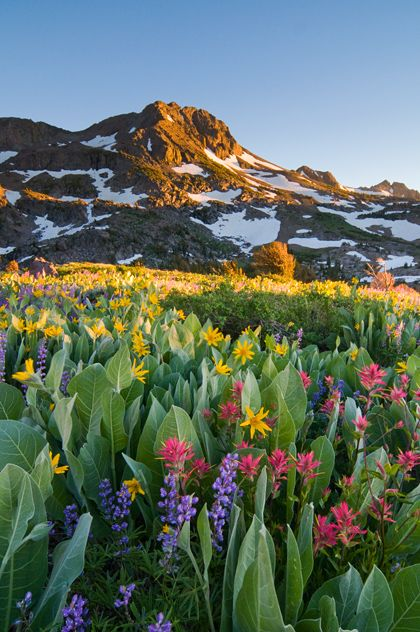 Alpine Garden - Carson Pass, in the Sierra Nevada, is home to one of the most beautiful wildflower displays in the country.