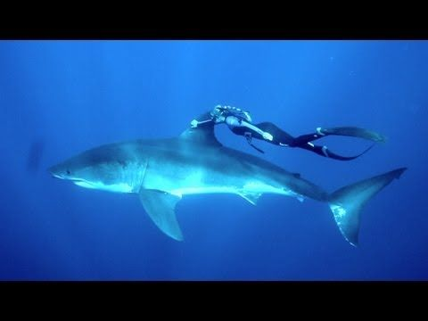 Watch free diver Ocean Ramsey ride on the back of a great white shark to promote conservation and awareness.