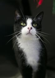 Marvin is an adoptable Tuxedo Cat in Jersey City, NJ. Adopted from LHS three years ago, Marvin was recently surrendered. If you have room in your heart & your home to give this guy a FOREVER home, pl...