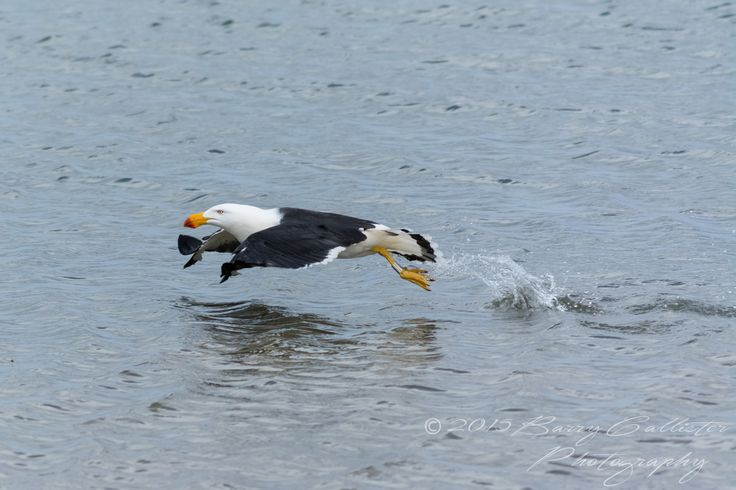 A Pacific Gull taking flight at Inverloch, Victoria, Australia.