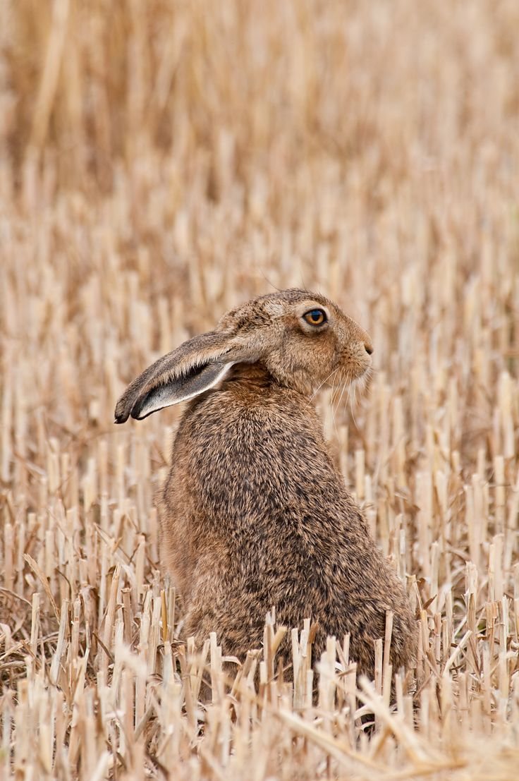 Google Image Result for http://www.wildaboutbritain.co.uk/pictures/data/6/brown_hare-1.jpg
