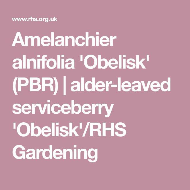 Amelanchier alnifolia 'Obelisk' (PBR) | alder-leaved serviceberry 'Obelisk'/RHS Gardening