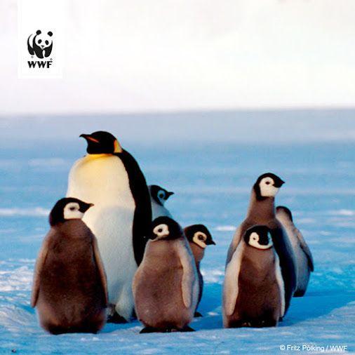 2016 wurde das weltgrößte Meeresschutzgebiet vor der Antarktis ausgerufen! Das war ein großer Erfolg, denn ein Drittel der Adelie-Pinguine und ein Viertel der Kaiserpinguine sind dort beheimatet. Auch der Luchs, der große Panda und der Tiger zählen zu den Gewinnern.