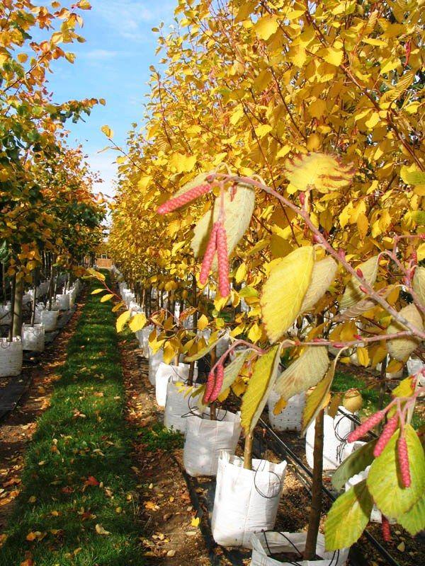 Golden Alder - Barcham Trees
