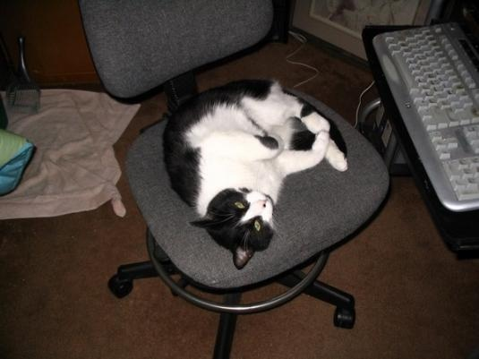 Problem has taken over the computer chair in....: Crazy Cat, Feline Expression