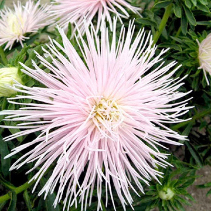 Aster Starlight Light Pink Seed