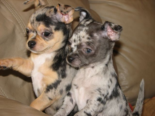 Smiley x Will, black and tan and black merle chihuahua puppies