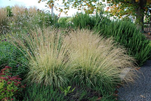Gp 1 molinia caerulea arundinacea transparent full sun for Full sun ornamental grass