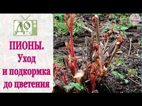 ПИОНЫ. Уход и подкормка ВЕСНОЙ до цветения - YouTube