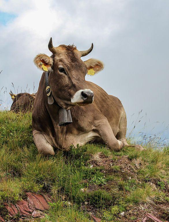 Cow (Braunvieh) at Flumserberg (near Walensee SG Switzerland)