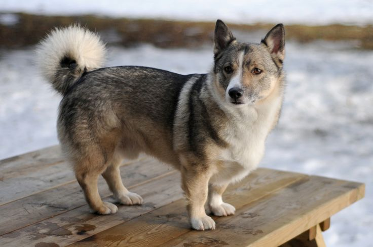 The corgi husky mix one of the cutest mixes in the world of dogs and adopting one is the right choice for you and your family.