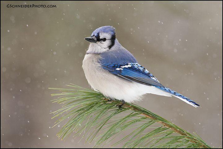 392 best blue jay images on pinterest blue jay beautiful birds