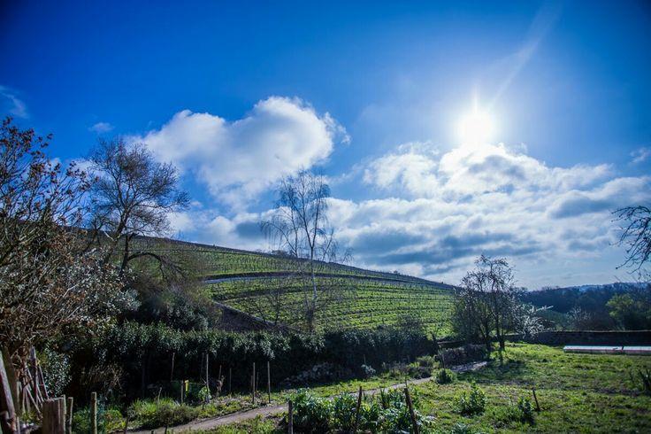 De opbrengst in 2016 is voor de blauwe druiven een rampzalig jaar. Gelukkig is de kwaliteit goed, maar de productie is om wanhopig van te worden.  Lees meer op http://www.wijngekken.nl/?p=40246  #gamay #cabernetfranc #loire #wijnjaar