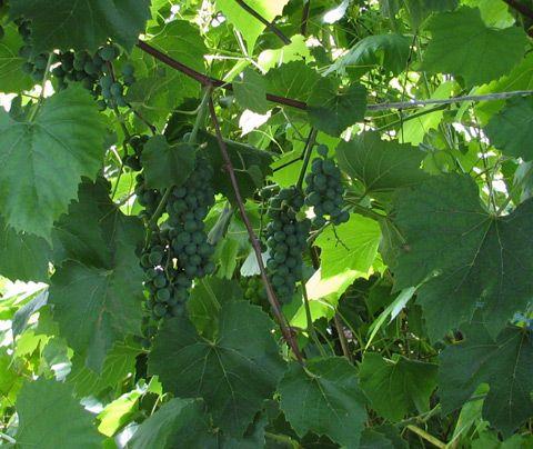 Viiniköynnökset, Vitis
