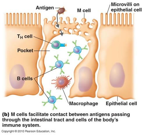 antigen presenting cells - Google Search