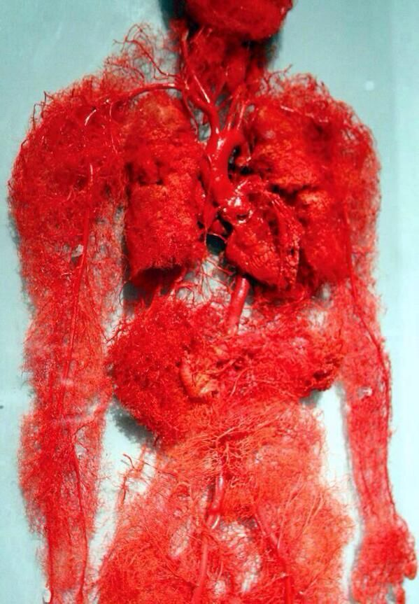 An interesting look at the blood vessels of the human body