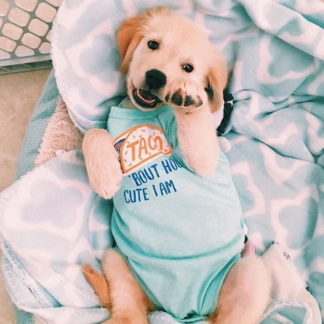 Golden Retriever Puppy Ourgoldennola Wearing Pajamas Cute Baby