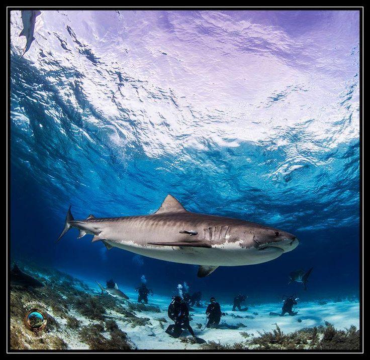 Tiger shark By: Richard Apple