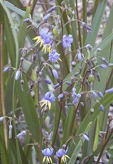 Dianella caerulea flowers