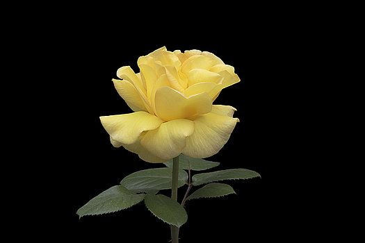 Beautiful yellow rose on black background by George Westermak#George Westermak#flowers#FineArtPrints#homedecor