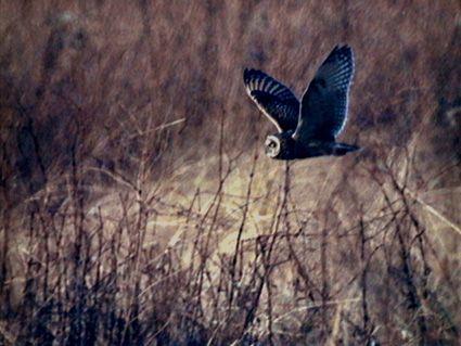 野鳥写真  コミミズク