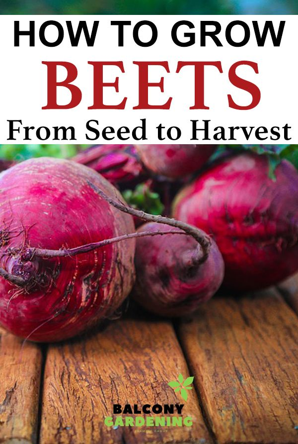How To Grow Beets From Seed To Harvest In 2020 Growing Beets Beets Harvest